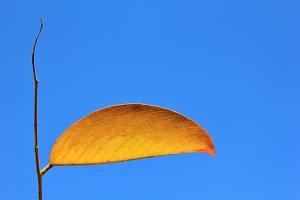 Simplistic Nature - Autumn Leaf