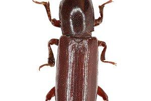 Darkling Beetle Corticeus