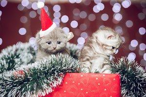 Two funny scottish kittens