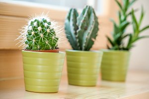 Three cactus in a flowerpot