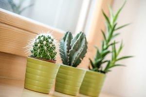 Three cactus in a flowerpot 2