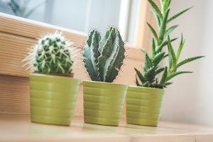 Three cactus in a flowerpot 3