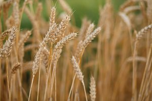 Ripe wheat in the summer