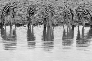 Zebra - Reflection of Lines