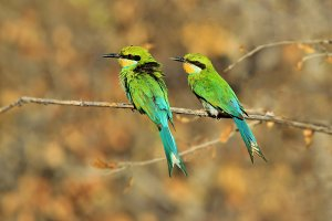 Bee-eater Greens - Colorful Nature