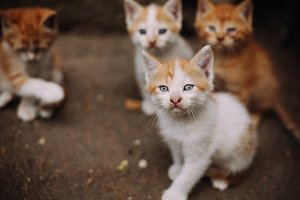 Four cute small stray white and ginger kittens