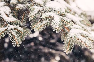 Snow on the fir-tree branches in winter