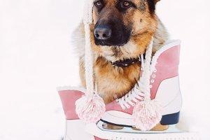German shepherd dog wearing hat with racing skates