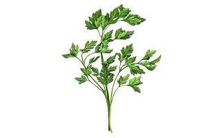 Parsley Pencil Drawing