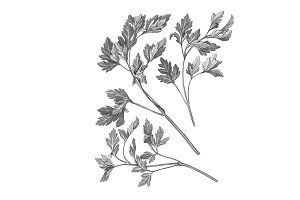 Parsley Black & White Illustration