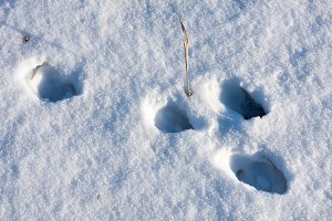 hare tracks in winter in the snow