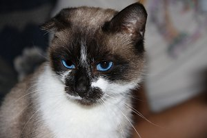 Siamese cat with blue eyes, facial close up