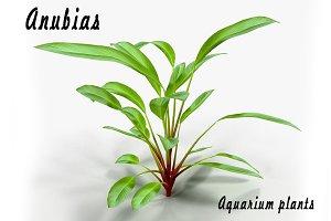 Anubias