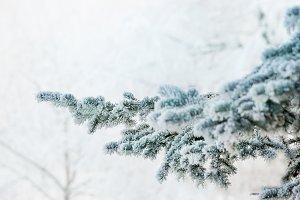 Frozen fir tree