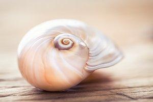 Seashell on wood background macro.