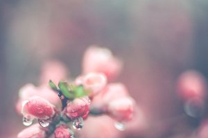 Photography Pink Flowers and Rain HD