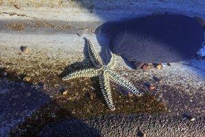 Starfish in low tide