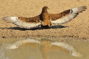Bateleur Eagle - Wings of Power