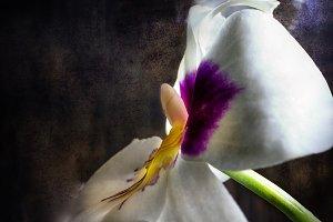 Miltonia orchid flower