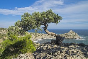 Relict juniper tree on a cliff