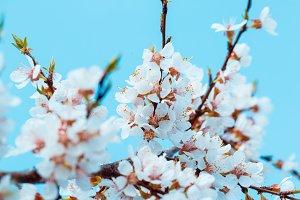 Apricot blossom background