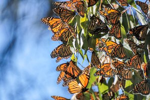Monarch Butterflies on Eucalyptus