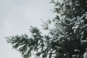 Winter Pinetree