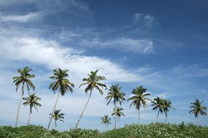 tropical coconut palms