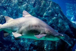 Big white shark