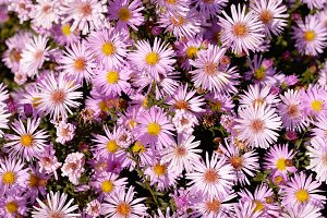 Asters flowers
