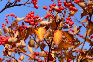 Autumn hawthorn berries