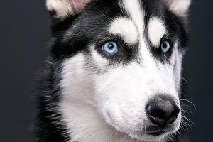 Portrait of beautiful Siberian Husky