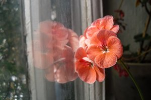 Geranium with reflection in window