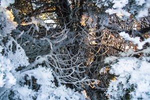 Sunlight shines through juniper