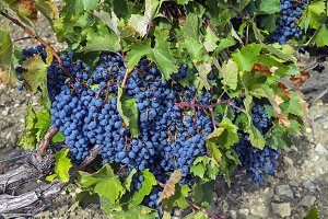 Ripe clusters of dark blue grapes
