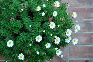 white daisies among green foliage
