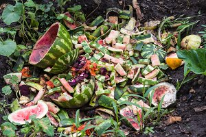 watermelon dump waste in the garden in summer