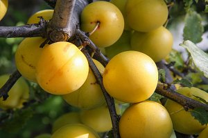 yellow cherry plum fruit on a branch close-up