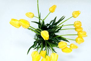 resh spring yellow tulips