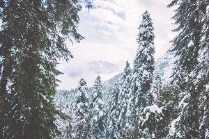 Winter snowy Coniferous Forest
