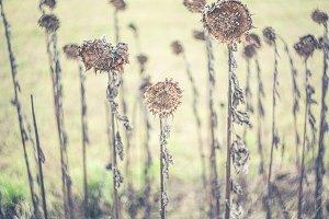 withered swirley bokeh sunflower