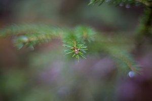 Close Up Pine Branch