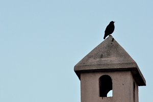 Blackbird on the top of a chimney
