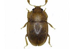 Sap Beetle Epuraea