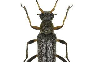 Longhorn Beetle Grammoptera