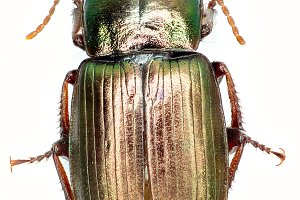 Green Ground Beetle Harpalus