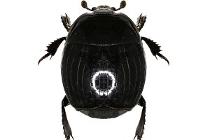 Clown Beetle Margarinotus