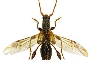 Longhorn Beetle Molorchus