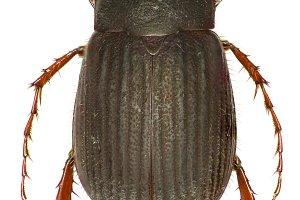 Scarab Beetle Maladera