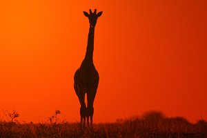 Giraffe Silhouette - Solitude Color